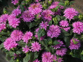 'Lilac Lollipop' Bee Balm