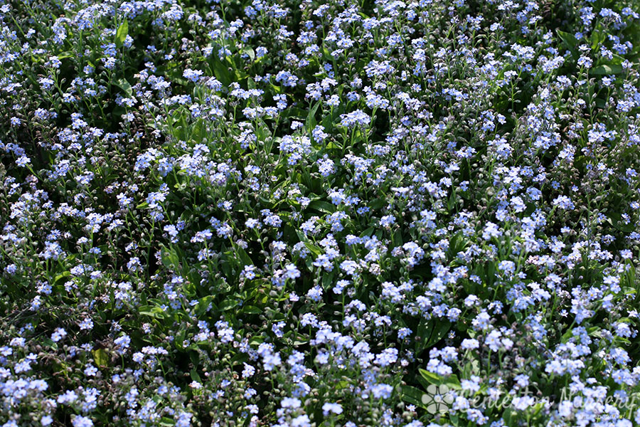 'Mon Amie Blue' Forget-Me-Not