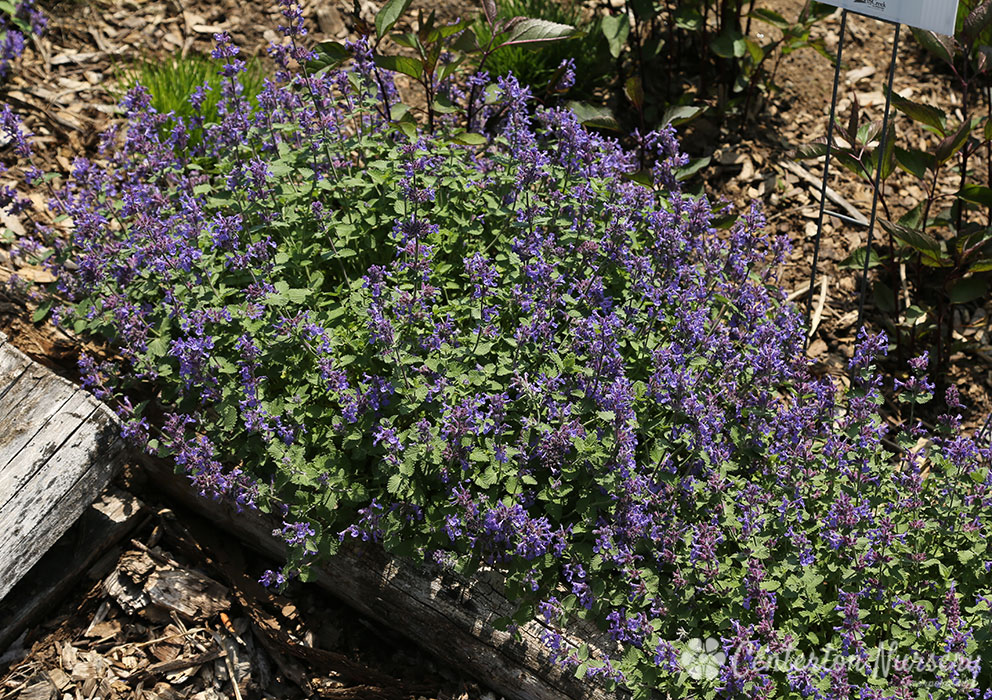 'Early Bird' Catmint