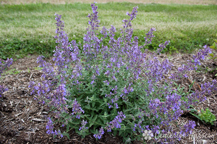 'Junior Walker' Low Catmint