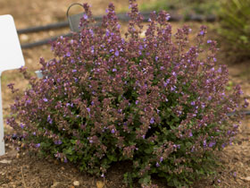 'Kitten Around Dwarf Catmint