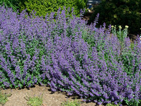'Walker's Low' Catmint