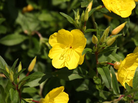 'Fireworks' Evening Primrose