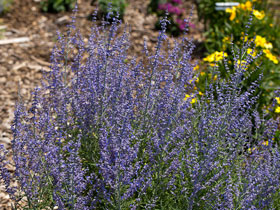 'Blue Jean Baby' Russian Sage