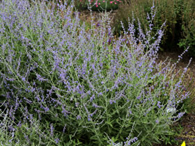 'Crazy Blue Russian Sage
