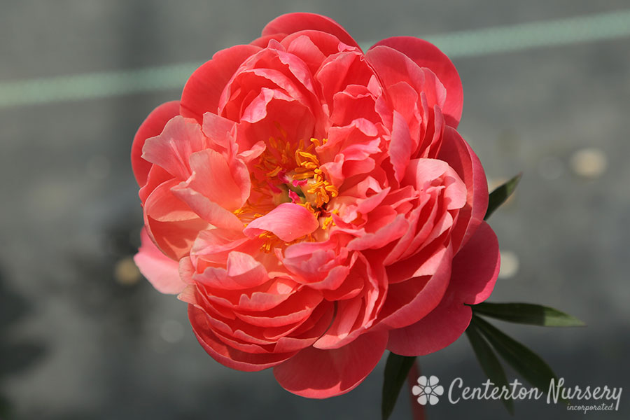 'Coral Sunset' Perennial Peony