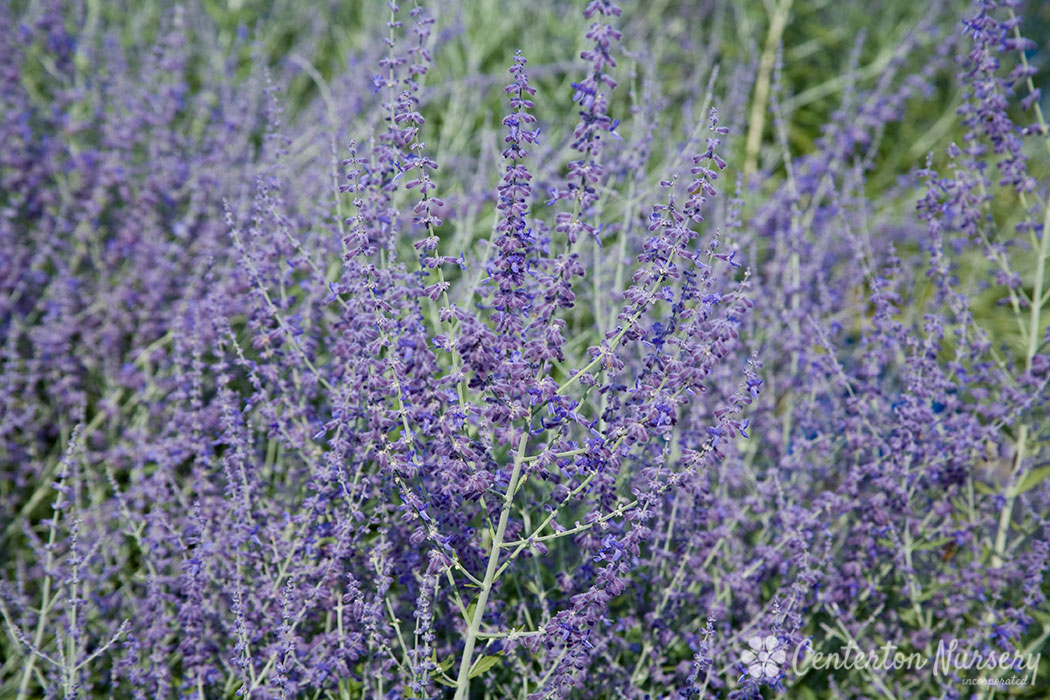 Superb Russian Sage