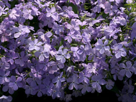 'Blue Moon' Woodland Phlox