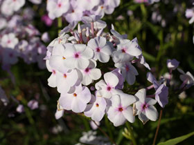 'Fashionably Early Lavender Ice' Hybrid Garden Phlox