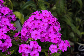'Flame Purple' Garden Phlox