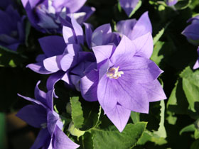 'Astra Semi-Double Blue' Balloon Flower