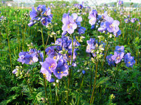 'Bressingham Purple' Jacob's Ladder