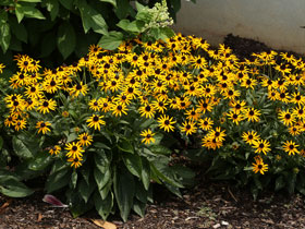 'Little Gold Star' Dwarf Black-Eyed Susan