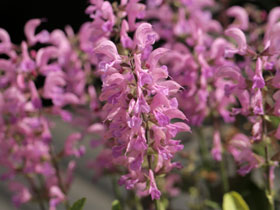 'Pretty In Pink' Sage