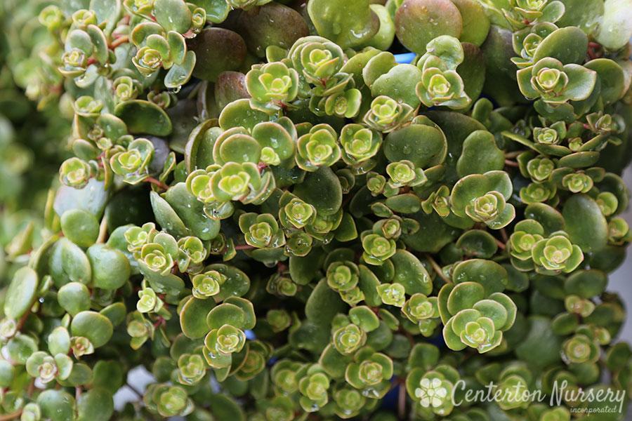 carpet™ groundcover sedum, Natural flower