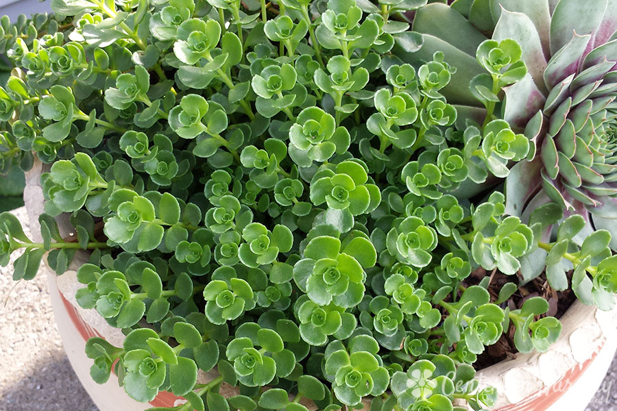 'John Creech' Groundcover Sedum