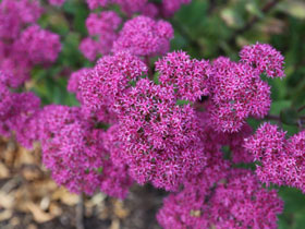 'Mr. Goodbud' Sedum