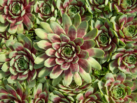 'Ruby Heart' Hens & Chicks