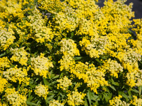 'Little Lemon' Dwarf Goldenrod