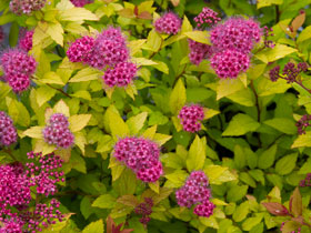 'Magic Carpet' Spirea