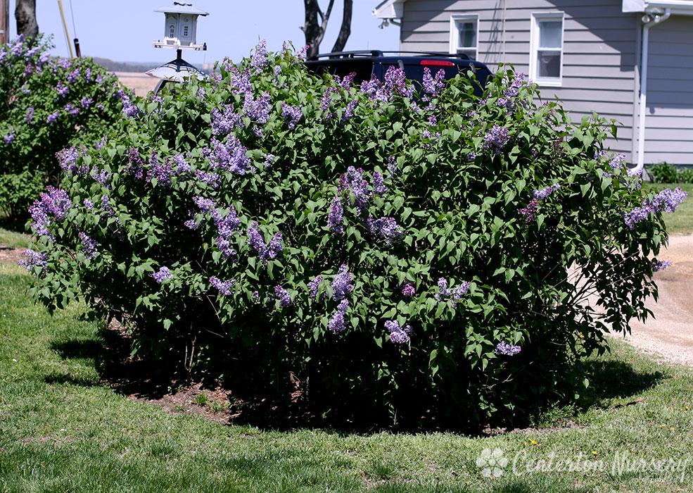 Old Fashioned Purple Lilac