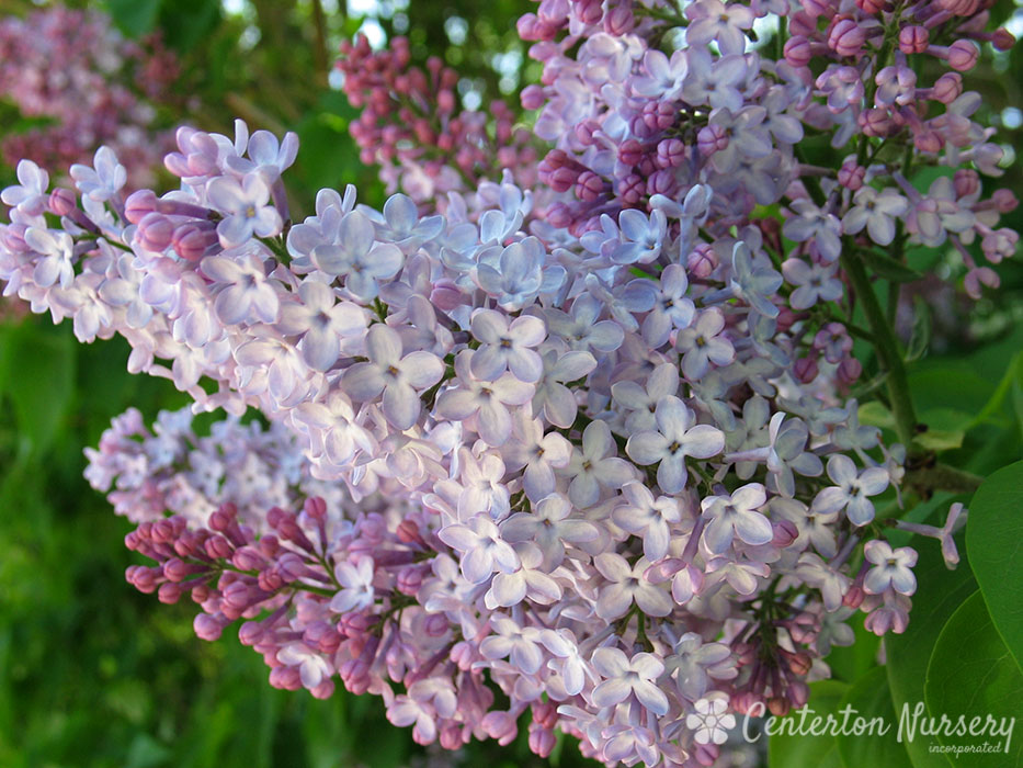 Old Fashioned Purple Lilac