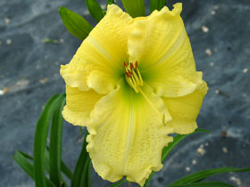 'Brocaded Gown' Trophytaker<sup>&reg;</sup> Daylily