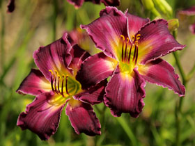 'Indian Giver' Trophytaker<sup>&reg;</sup> Daylily