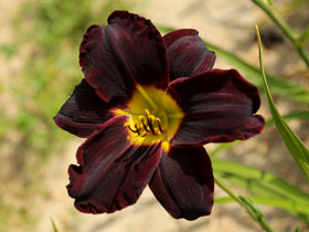 'Jungle Beauty' Trophytaker<sup>&reg;</sup> Daylily