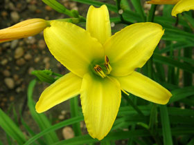 'The Jury's Out' Trophytaker<sup>&reg;</sup> Daylily