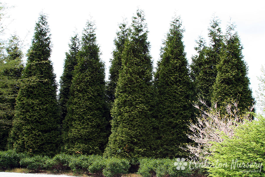 'Green Giant' Hedge Arborvitae