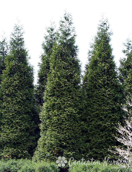 39 green giant 39 hedge arborvitae for Green giant arborvitae