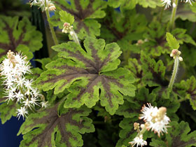 'Fingerpaint' Foamflower
