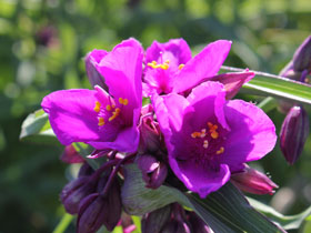 'Red Grape' Spiderwort