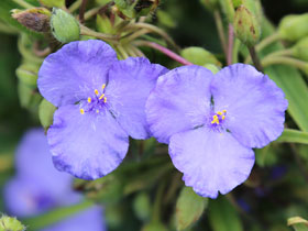 'Zwanenburg Blue' Spiderwort