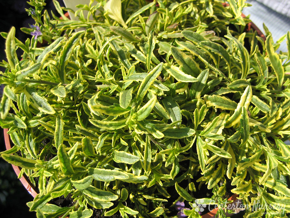 'Goldwell' Variegated Veronica