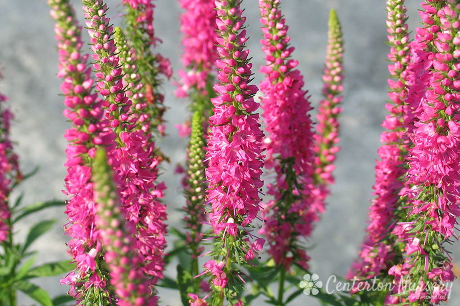 'Red Fox' Veronica