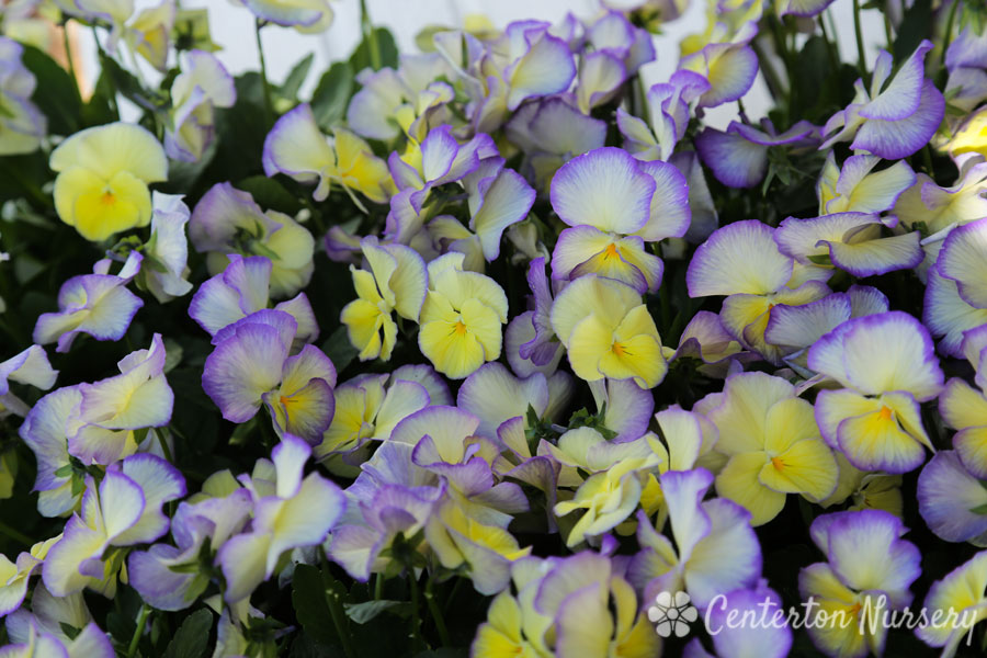 Magnifi Scent® 'Sweetheart' Violet