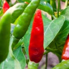 Wok Stars™ Pepper 'Thai Dragon'